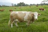 Peternak di Payakumbuh hanya mampu memenuhi 30 persen kebutuhan sapi kurban