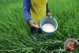 Petani di Bone Sulsel keluhkan pembatasan pupuk dari penyalur