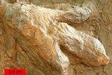 Spesies dinosaurus baru dunia ditemukan di Australia