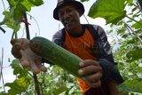 Magetan (Antara Jatim) - Petani memanen mentimun di Plaosan, Magetan, Minggu (27/10). Mentimun tersebut selanjutnya dijual di Pasar Sayur Plaosan dengan harga Rp2.500/kg. (Ftoto Siswowidodo/13/edy)