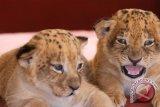 Tiga singa putih langka dilahirkan di Georgia