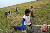 Panen padi lebak Sumsel mundur akibat banjir