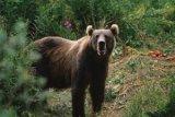 Ibu Rumah Tangga Diterkam Beruang