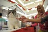 Seekor kucing Persia pedigree (bersertifikat) bersiap mengikuti kompetisi kucing di Kota Palembang, Sumsel, Minggu (16/3). Sebanyak 83 kucing baik pedigree maupun non pedigree mengikuti kompetisi dengan juri bersertifikat internasional itu. ANTARA FOTO/ Feny Selly/ed/Spt/14