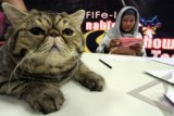 Dewan juri melakukan penilaian kepada seekor kucing yang mengikuti kontes kecantikan kucing tingkat Nasional yang dilaksanakan di Serpong, Tangerang Selatan, Banten, Sabtu (22/3). Kontes yang diadakan oleh Indonesia Cat Association, National Cat Show (NCS) ini diikuti oleh para pecinta kucing dari berbagai daerah di Indonesia yang memperebutkan piala bergilir ibu Menpora. ANTARA FOTO/Muhammad Iqbal/ss/NZ/14