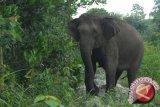 Chicco Jerikho menyerukan penghentian perburuan gajah