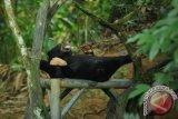 Seekor Sun Bear atau Helarctos Malayanus bermain di Kawasna Wisata Pendidikan Lingkungan Hidup, Balikpapan, Kalimantan Timur, Kamis (26/6). PT Pertamina (Persero) berkomitmen dalam upaya pelestarian spesies beruang terkecil di dunia itu dengan mengadopsi dua dari enam beruang yang hidup di KWPLH Balikpapan. ANTARA FOTO/Puspa Perwitasari/ed/Spt/14