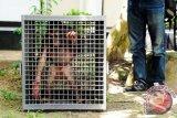 Seekor Orangutan betina (pongo pygmaeus wurmbii) berusia 1,5 tahun berada di dalam kandang, saat diamankan di halaman Balai Konservasi Sumber Daya Alam (BKSDA) Kalbar, di Pontianak, Kamis (24/7). Orangutan betina yang diserahkan oleh warga Ketapang kepada BKSDA Kalbar dalam keadaan kurang gizi tersebut, selanjutnya akan dikirim ke pusat rehabilitasi International Animal Rescue (IAR) Ketapang guna menjalani perawatan lebih lanjut. ANTARA FOTO/Jessica Helena Wuysang/ed/NZ/14