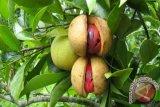 Harga fuli pala di Ambon Maluku Rp250.000