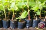 Pemasaran bibit plasma nutfah pisang akan diperluas