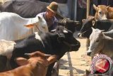 Dinas Peternakan Papua turunkan tim pemeriksa hewan kurban