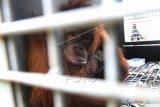 Orangutan (pongo pygmaeus pygmaeus) yang berhasil dievakuasi, berada di kandang di Balai Konservasi Sumber Daya Alam (BKSDA) Kalbar, Pontianak, Rabu (19/11). BKSDA Kalbar berhasil mengevakuasi dua ekor Orangutan berusia lima dan dua tahun yang ditemukan warga di Desa Sungai Rasau, Kabupaten Pontianak dan Singkawang pada Selasa (18/11) dan selanjutnya dua hewan primata tersebut akan diserahkan ke International Animal Rescue (IAR) di Kabupaten Ketapang untuk menjalani rehabilitasi. ANTARA FOTO/Sheravim/jhw/ss/Spt/14