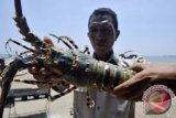 Police Seize Poached Lobsters Valued at Rp5.74 Billion