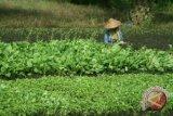 Ratusan Hektare Tanaman Palawija Diserang Celeng