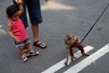 Surabaya (Antara Jatim) - Seekor kera ekor panjang (long-tailed macaque) memungut uang usai menghibur warga yang menikmati car free day (hari bebas kendaraan) di Darmo, Surabaya, Jatim, Minggu (22/2). Pertunjukan yang kerap dikritik masyarakat pecinta hewan itu dalam sehari bisa mendapatkan Rp50 ribu. FOTO M Risyal Hidayat/15/Chan.