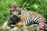 Pekerja tewas diterkam harimau di konsesi PT RIA di Riau