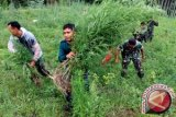 TNI Bakar Dua Hektare Ladang Ganja Di Aceh