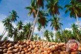 Luas lahan peremajaan kelapa Parigi Moutong capai 437 hektare