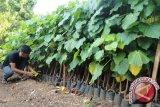 IPB Siapkan 200 Hektare Pengembangan Kemiri Sunan