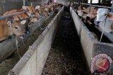Pekanbaru tingkatkan populasi sapi