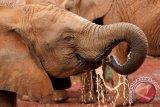 154 gajah mati secara misterius