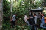 Petugas Yayasan Orangutan Sumatera Lestari - Orangutan Information Centre (YOSL-OIC) dan BKSDA Aceh, melakukan proses translokasi (pemindahan) orangutan sumatra (Pongo abelii) ke hutan lindung kawasan ekosistem Leuser Aceh Tamiang, Aceh, Sabtu (4/4). Orangutan jantan berumur 35 tahun tersebut dievakuasi dari perkebunan sawit di Desa Sumadam, Aceh Tamiang. ANTARA FOTO/Irsan Mulyadi/Rei/ama/15