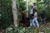 Petugas Yayasan Orangutan Sumatera Lestari - Orangutan Information Centre (YOSL-OIC) dan BKSDA Aceh, membawa kandang berisi orangutan sumatra (Pongo abelii) yang akan ditranslokasikan ke hutan lindung kawasan ekosistem Leuser Aceh Tamiang, Aceh, Sabtu (4/4). Orangutan jantan berumur 35 tahun tersebut dievakuasi dari perkebunan sawit di Desa Sumadam, Aceh Tamiang. ANTARA FOTO/Irsan Mulyadi/Rei/ama/15