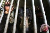Seekor beruang madu (Helarctos malayanus) hasil sitaan Balai Konservasi Sumber Daya Alam (BKSDA) Aceh direhabilitasi di Banda Aceh, Aceh, Sabtu (11/7). BKSDA Aceh telah menyita puluhan satwa langka dan dilindungi serta telah melepasliarkan kembali ke habitatnya. ANTARA FOTO/Irwansyah Putra/aww/15.