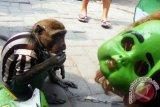 Pawang mengarahkan seekor kera ekor panjang (long-tailed macaque)untuk melakukan pertunjukan menghibur warga di salah satu Kampung Surabaya, kamis(13/8). Pertunjukan yang kerap dikritik pecinta hewan karena tergolong eksploitasi satwa itu, dalam sehari pawang dapat menghasilkan Rp50 ribu. Antara Jatim/Abdullah Rifai/15