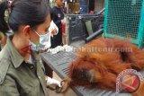1 Individu Orangutan Dievakuasi Akibat Kebakaran Lahan
