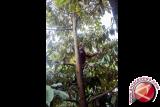 Bayi Orangutan bergelantungan di atas pohon saat hendak dievakuasi oleh petugas medis dari Yayasan Inisiasi Alam Rehabilitasi Indonesia (YIARI) Ketapang di Desa Randau Jekak, Kecamatan Simpang Hulu, Kabupaten Ketapang, Kalbar, Kamis (17/12). Bayi Orangutan bernama Paini tersebut, dibeli oleh warga setempat dari seorang pemburu di kawasan Sendai seharga Rp500 ribu dan kemudian diserahkan ke YIARI Ketapang untuk direhabilitasi. ANTARA FOTO/HUMAS YIARI-HERIBERTUS/jhw/15