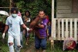 Tiga anggota tim medis Yayasan Inisiasi Alam Rehabilitasi Indonesia (YIARI) Ketapang membawa Orangutan betina bernama Japik (4 tahun) saat proses evakuasi dari rumah warga yang memeliharanya di Desa Balai Pinang, Kecamatan Simpang Hulu, Kabupaten Ketapang, Kalbar, Kamis (17/12). Orangutan betina yang ditemukan tim medis YIARI Ketapang dalam keadaan dirantai dan mengenaskan tersebut, pada kesehariannya selalu mengkonsumsi menu manusia seperti kopi, sambal, es teh dan nasi yang diberikan pemiliknya. ANTARA FOTO/HUMAS YIARI-HERIBERTUS/jhw