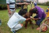 Dua anggota tim medis Yayasan Inisiasi Alam Rehabilitasi Indonesia (YIARI) Ketapang melepaskan rantai Orangutan betina bernama Japik (4 tahun) saat proses evakuasi dari rumah warga yang memeliharanya di Desa Balai Pinang, Kecamatan Simpang Hulu, Kabupaten Ketapang, Kalbar, Kamis (17/12). Orangutan betina yang ditemukan tim medis YIARI Ketapang dalam keadaan dirantai dan mengenaskan tersebut, pada kesehariannya selalu mengkonsumsi menu manusia seperti kopi, sambal, es teh dan nasi yang diberikan pemiliknya. ANTARA FOTO/HUMAS YIARI-HERIBERTUS/jhw
