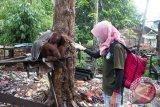 Seorang tim medis Yayasan Inisiasi Alam Rehabilitasi Indonesia (YIARI) Ketapang membujuk Orangutan betina bernama Japik (4 tahun) yang dirantai di atas kayu di perkarangan rumah warga yang memeliharanya di Desa Balai Pinang, Kecamatan Simpang Hulu, Kabupaten Ketapang, Kalbar, Kamis (17/12). Orangutan betina yang ditemukan tim medis YIARI Ketapang dalam keadaan dirantai dan mengenaskan tersebut, pada kesehariannya selalu mengkonsumsi menu manusia seperti kopi, sambal, es teh dan nasi yang diberikan pemiliknya. ANTARA FOTO/HUMAS YIARI-HERIBERTUS/jhw