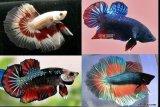 Badan Riset dan SDM KKP transfer teknologi pengembangbiakan ikan cupang alam