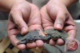 Belasan ribu kura-kura moncong babi dipulangkan ke Papua