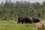 BKSDA jelaskan  penyebab gajah mengamuk di Ogan Komering Ilir