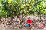 Panen petani kakao di Arso meningkat