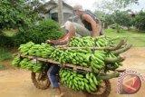 Petani pisang sedang mengangkut tandan buah pisang segar dari kebun dibawa ke rumah mereka menggunakan sepeda motor yang bannya dililit rantai agar tidak licin, di Desa Kotabatu, Kecamatan Pubian, Kabupaten Lampung Tengah, Provinsi Lampung. (ANTARA FOTO/M.Tohamaksun/Dok).