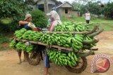 Dua petani sedang mengisi premium (bensin) ke sepeda motnya untuk mengangkut tandan buah pisang segar dari kebun dibawa ke rumah mereka menggunakan sepeda motor yang bannya dililit rantai agar tidak licin, di Desa Kotabatu, Kecamatan Pubian, Kabupaten Lampung Tengah, Provinsi Lampung. (ANTARA FOTO/M.Tohamaksun/Dok).