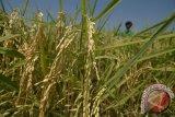 Varietas padi Inpari mampu berproduksi 11 ton per hektare