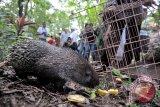Petugas Balai Konservasi Sumber Daya Alam (BKSDA), tokoh masyarakat dan petugas Bali Zoo melepaskan Landak Jawa (Hystrix Javanica) ke habitatnya di hutan adat Desa Bahbahan, Tabanan, Bali, Kamis (14/4). Sebanyak 9 ekor Landak Jawa hasil pengembangbiakan dan seekor Elang Ular dilepasliarkan ke alam sebagai upaya konservasi alam dan gerakan nasional penyelamatan satwa liar. ANTARA FOTO/Nyoman Budhiana/i018/2016.