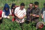 Wakil Wali Kota Pontianak, Edi Rusdi Kamtono memanen bawang merah dan cabai rawit di Sungai Selamat, Kecamatan Pontianak Utara, guna menekan laju inflasi di Pontianak. (Foto Antara Kalbar / Andilala).