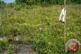 Wakil Wali Kota Pontianak, Edi Rusdi Kamtono memanen bawang merah dan cabai rawit di Sungai Selamat, Kecamatan Pontianak Utara, guna menekan laju inflasi di Pontianak. (Foto Antara Kalbar / Andilala)