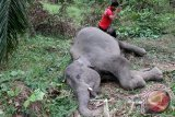 Warga berada di samping seekor gajah sumatera jantan yang mati di kawasan perkebunan kelapa sawit PT Dwi Kencana Semesta Kecamatan Banda Alam, Aceh Timur, Aceh, Minggu (14/7/2016). Penyebab kemtian gajah jantan berusia lima tahun itu masih dalam penyelidikan pihak berwenang, sementara itu data Balai Koservasi Sumber Daya Alam (BKSDA) Aceh menunjukkan 21 ekor gajah Sumatera mati akibat konflik dengan manusia di Aceh pada 2014-2016. (Foto Syifa Yulinnas)