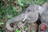 Seekor gajah sumatera jantan tergeletak mati di kawasan perkebunan kelapa sawit PT Dwi Kencana Semesta Kecamatan Banda Alam, Aceh Timur, Aceh, Minggu (14/7/2016). Penyebab kemtian gajah jantan berusia lima tahun itu masih dalam penyelidikan pihak berwenang, sementara itu data Balai Koservasi Sumber Daya Alam (BKSDA) Aceh menunjukkan 21 ekor gajah Sumatera mati akibat konflik dengan manusia di Aceh pada 2014-2016. (Foto Syifa Yulinnas)