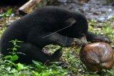 Seekor anak beruang madu (Helarctos Malayanus) bermain kelapa di kandang Taman Safari Indonesia (TSI) II, Pasuruan, Jawa Timur, Senin (9/5). Anak beruang madu berkelamin jantan yang merupakan kelahiran pertama di TSI II Prigen ini melengkapi 7 koleksi beruang madu di Taman Safari Indonesia II. ANTARA FOTO/Umarul Faruq/pd/16