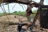 Petani Tebu Terapkan Mekanisasi Atasi Keterbatasan Pekerja