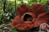 Bunga Rafflesia Arnoldi Mekar