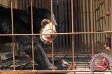 BKSDA lepasliarkan beruang madu ke hutan lindung
